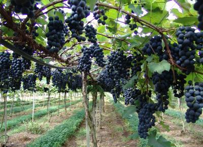 Produtores iniciam colheita da uva e ameixa em Porto Alegre
