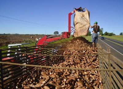 Mandioca: Retomada da produção mantém cotações em queda