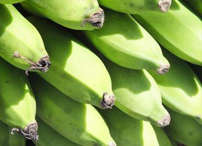 Bananas desenvolvidas e recomendadas pela Embrapa são testadas na África