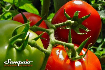 Clima instável prejudica safra do tomate no interior paulista